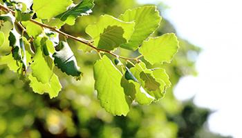 Лечение лиственных деревьев